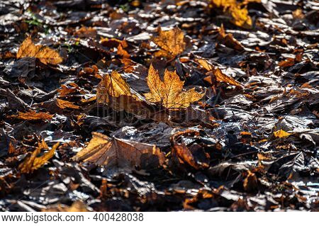 Autumn Fallen Yellow Maple Leaves In The Park Lie On The Ground With Backlight.