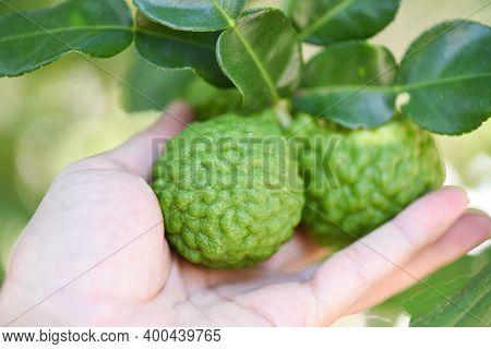 Fresh Bergamot Fruit On Tree Nature Background, Kaffir Lime, Citrus Bergamia With Leaf On Wooden Tab