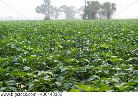 Pictures Of Potato Plants On The Vast Agricultural Field Across The Horizon, Where Carefully Nurture