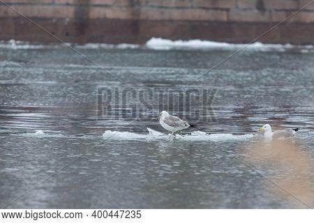 Gulls On A Drifting Ice Floe On River