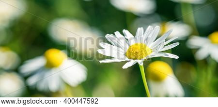 Summer Banner Of Beautiful White Chamomile. Flower Background. Chamomile In The Nature. Copy Space.