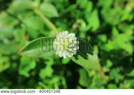 Closeup A White Globe Amaranth Flower In The Sunlight