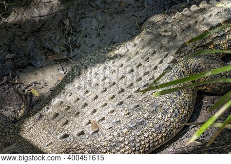 The Tough Leathery Hide That Forms The Skin Of A Saltwater Crocodile
