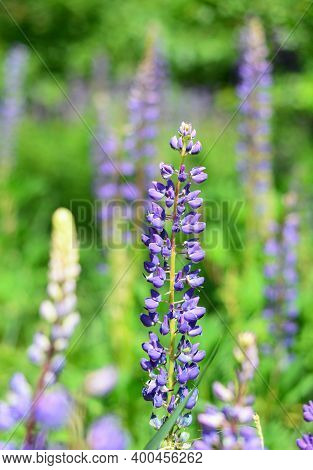 A Close-up Of A Lupinus Polyphyllus Blooming Flower With Blurring Purple Lupines, Bluebonnets In The