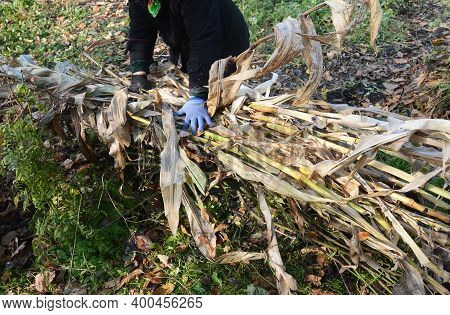 Climbing Roses Winterizing: A Gardener Is Covering A Tied And Bent Large Rose Bush With Dry Leaves A