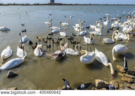 Many Swans Swim Together In The Lake
