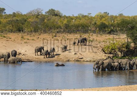 Scenic Landscape Of Two Large Herds Of African Elephants At A Waterhole Drinking And Bathing In Krug