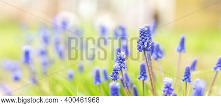 Spring Banner Of Beautiful Grape Hyacinths. Muscari Flowers In Spring Garden. Landscape Panorama, Co