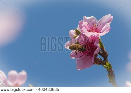 A Bee On A Blossoming Peach Branch, A Peach Tree Blossom And A Bee Pollinates In Spring. A Bee Colle