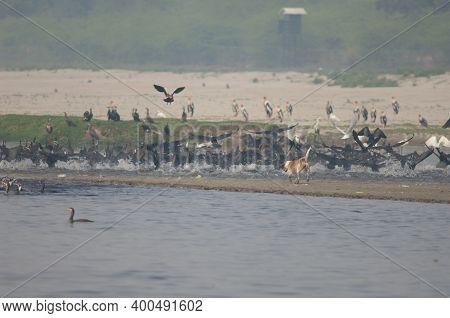 Feral Dog Canis Familiaris Chasing Water Birds. Yamuna River. Agra. Uttar Pradesh. India.