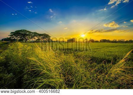 Beautiful Clump Of Grass Wild Flower A Warm Light And Green Field Cornfield Or Corn And Green Tree I