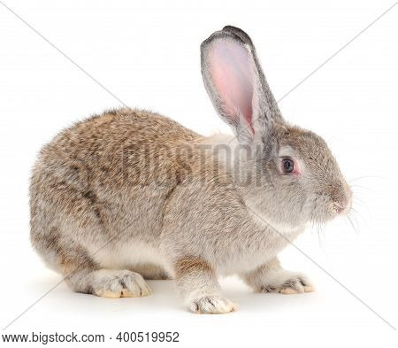 Gray Rabbit Isolated On A White Background.