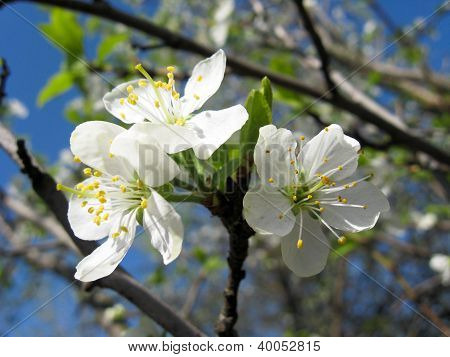 tree of a blossoming cherry