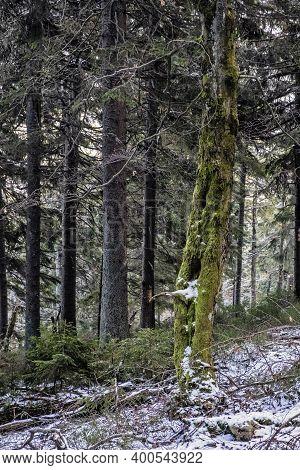 Coniferous Forest, Little Fatra Mountains, Slovak Republic. Hiking Theme. Seasonal Natural Scene.