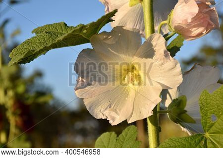 Malva Plant (alcea Rosea) In Flower Of White Color, Flower Garden For Experimentation.