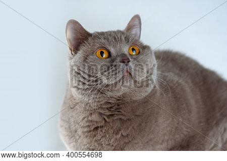 Portrait Cute British Shorthair Cat With Bright Orange Eyes Lying And Looking Up On White Background