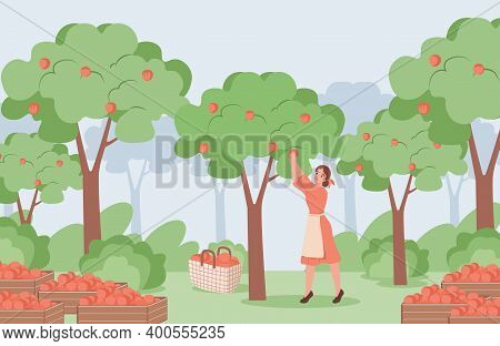 Young Woman In Red Dress And White Apron Picking Red Ripe Apples From Apple Trees Vector Flat Illust