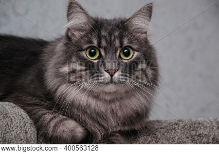 Close Up Picture Of A Grey Siberian Cat With Big Green-yellow Eyes Looking On The Camera With White