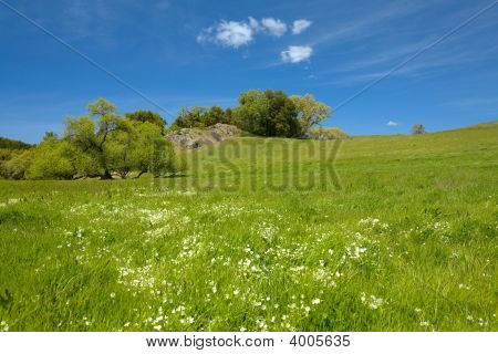 Douglas' Meadowfoam Limnanthes douglasii in Green Grass with Blue Sky Horizontal poster