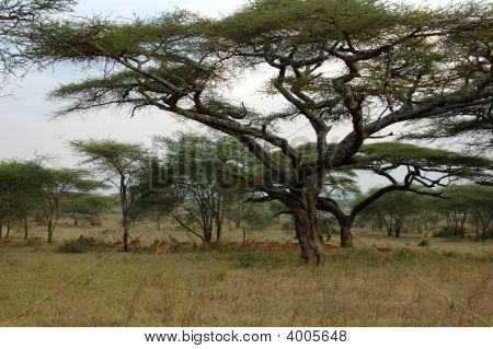 African Landscape With Impalas