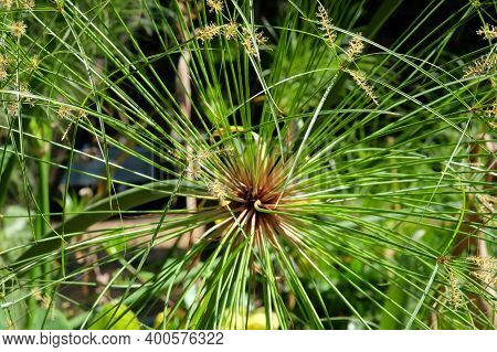 Green Papyrus Plant In The Sun (lat. Cyperus Papyrus)