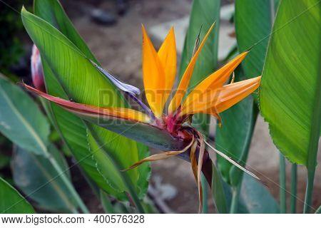 Exotic Beautiful Blooming Royal Strelitzia (lat.- Strelitzia Reginae)