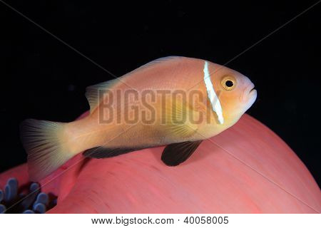 Maldive anemonefish and tropical red sea anemone poster