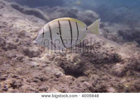 Horizontal image of a coral reef in Hawaii under water with a convict tang poster