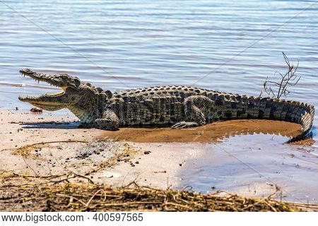 Resting Nile Crocodile On The River Bank With Opened Mouth Showing Teeth In Chobe River, Botswana Sa
