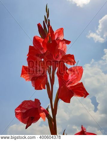 Shallow Depth Of Field Of Red Gladiolus Flower, Red Gladiolus Flower With Sky In Background