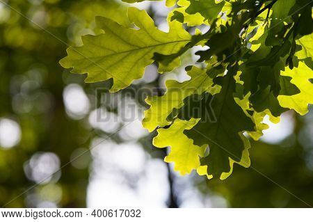 Oak Leaves In The Sun, Close-up. Beautiful Young Oak Leaves And Summer Sun. Green Oak Leaves. Sunbea