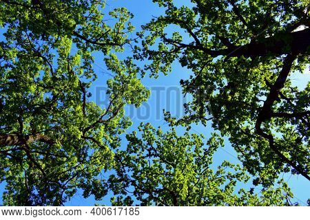 Crowns Of Oaks With Green Leaves. Beautiful Crown In The Park Made Of Oak. Bottom Up View. Clear Sun