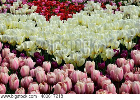 Blooming Tulips Of Different Colors And Varieties. Variety Of Tulips Of Different Colors Blooming In