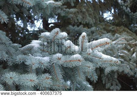 Leafage Of Blue Spruce Covered With Snow In December