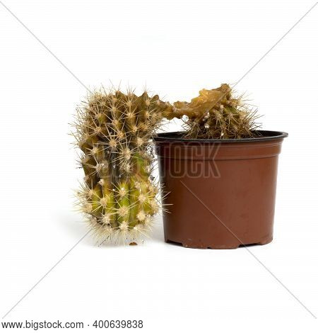 Rotten Cactus In A Brown Plastic Pot Isolated On White Background.