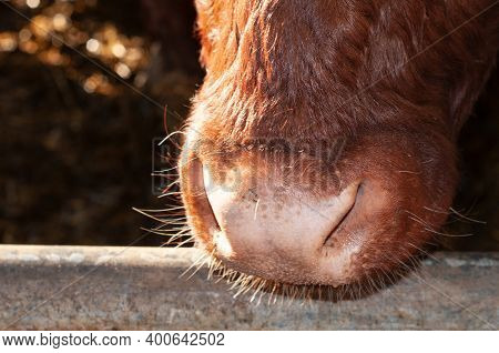 Close Up Of The Moist Muzzle Of A Cow With Brown Fur In A Stable