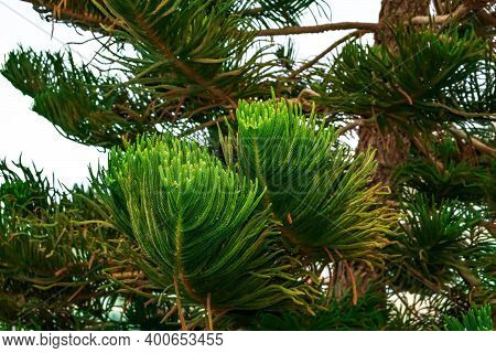 Decorative Branches Of Araucaria Heterophylla Or Norfolk Island Pine Close-up, Isolated On White. Co