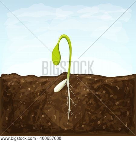 Sprouting Seed Of Vegetable. Sprout In Soil With Seed And Underground Roots System. Young Green Shoo