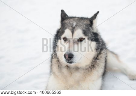 Alaskan Malamute In Winter Forest. Close Up Portrait.