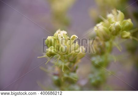 Detail Of Rue (ruta Montana) Plant Blooming In Mountain.