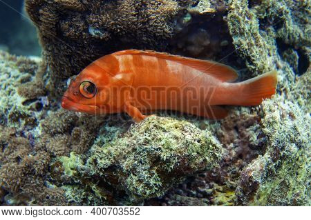 Black-tip Grouper A Red Color With Transverse Lighter Stripes Sank To A Rocky Bottom. Leaning On His