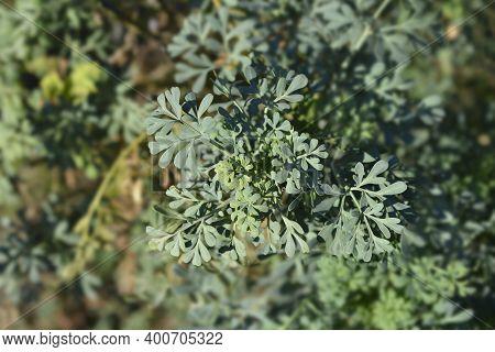 Common Rue Leaves - Latin Name - Ruta Graveolens