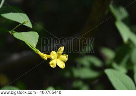 Italian Jasmine Yellow Flowers - Latin Name - Jasminum Humile