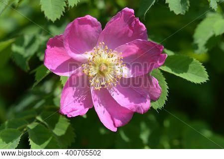 Pink Alpine Rose Flower - Latin Name - Rosa Pendulina