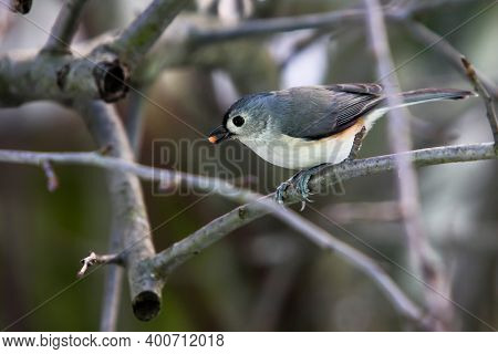 Tufted Titmouse sitting on branch outside in winter