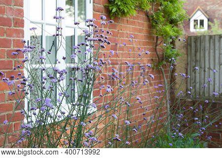 Verbena Bonariensis (purpletop Vervain) Growing In A Uk Cottage Garden. Tall Perennial Plants.