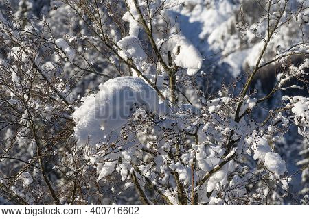 Snow Covered Trees In A Forest In Winter