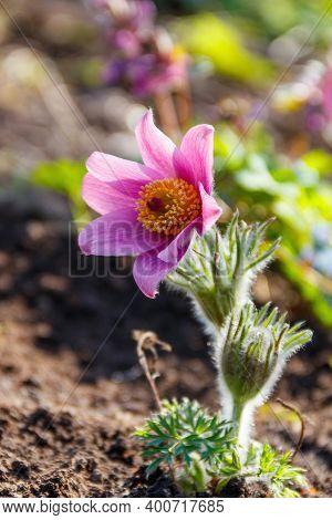 Eastern Pasqueflower (pulsatilla Patens), Also Known As Prairie Crocus, Cutleaf Anemone, Rock Lily