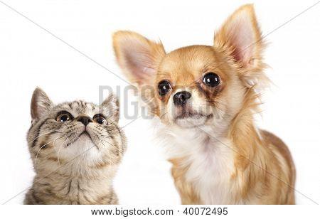 British kitten and dog Chihuahua