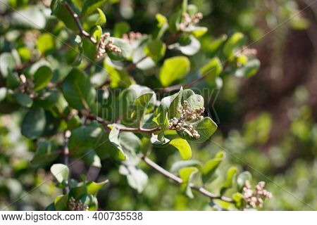 Tan Dormant Flower Buds Of Bittersweet Sumac, Rhus Integrifolia, Anacardiaceae, Native Gynodioecious